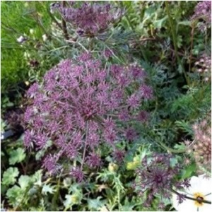 Gothic Black Queen Annes Lace Seeds from Stupid Girl