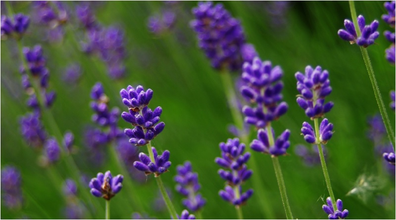 Lavender - Lavender Magical Properties and Uses - Elune Blue (800x445)