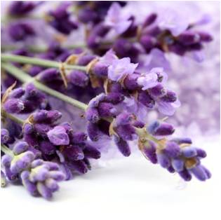 Lavender - Magical Herbs Lavender - Elune Blue (Featured Image)