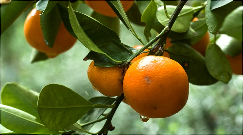The Fruit of Joy: Orange Magical Properties and Uses -- Magical Herbs