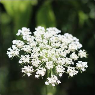 Magical Herbs Queen Anne's Lace