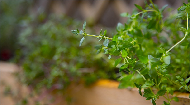 Thyme - Thyme Magical Properties and Uses