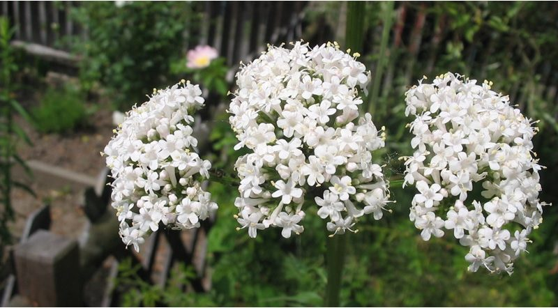 Valerian - Valerian Magical Properties and Uses - Elune Blue (800x445)