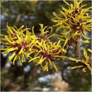 Magical Herbs Witch Hazel