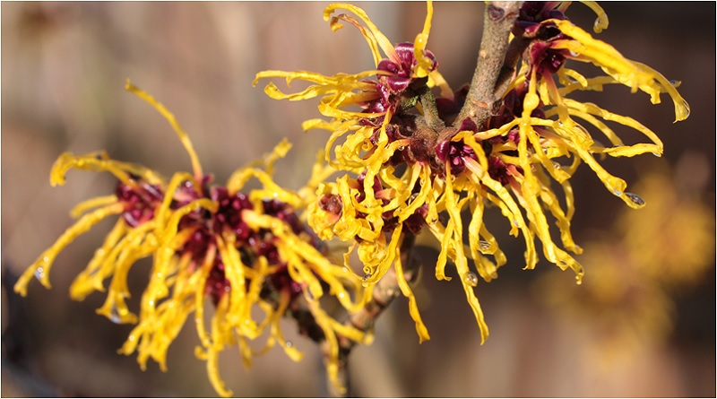 Witch Hazel - Witch Hazel Magical Properties - Elune Blue (800x445)