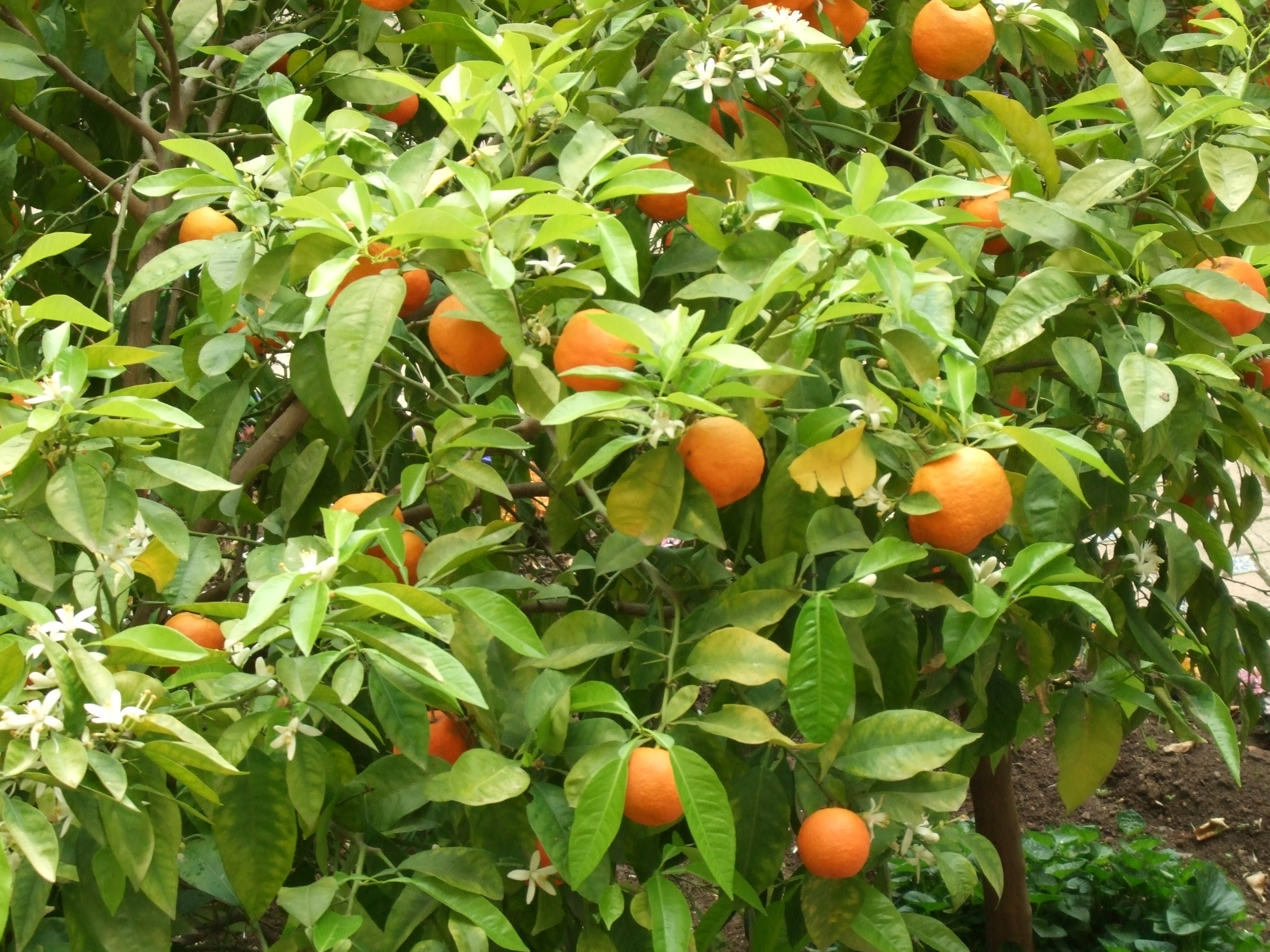 It is also powerful in terms of fertility magic and is associated with Gaea, the goddess of fertility.  Orange trees bear fruit and blossoms altogether, and when planted in the garden can bless the home and ward off infertility.  -- Orange Metaphysical Properties