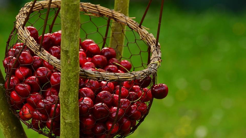The Immortality Fruit: Cherry Fruit Magical Properties and