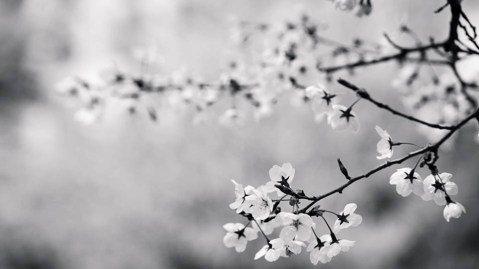 Cherry blossoms hearken the energies of death and mortality as well, and has uses in ancestral worship. -- Cherry Blossom Magical Properties and Uses