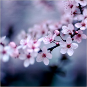 The Magick of Cherry Blossoms: The Geisha's Flower -- Cherry Blossom Magical Properties and Uses