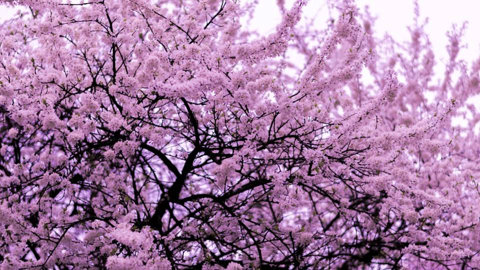 Cherry Blossoms Are Also Closely Linked With Mortality In The Anese Culture During An S Militarization
