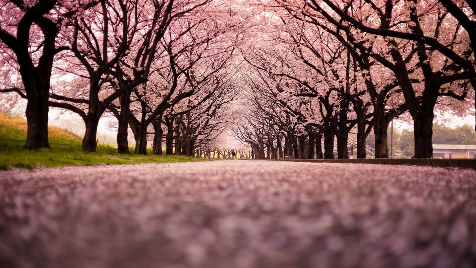 The sights of cherry blossoms herald the arrival of Spring, freshness and renewal.  Use cherry blossoms to draw in these enlivening Spring energies and to celebrate the dawn of new beginnings.  Their energy can aid with the beginning of new projects and goals. -- Cherry Blossom Magical Properties and Uses