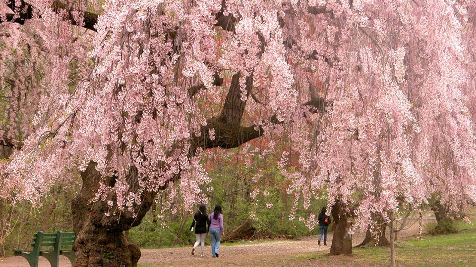 Cherry Blossoms overwhelm us with their stunning beauty and tantalizing aroma for only a couple weeks in the Spring, and then they are gone and we are left with only our enchanted memories of their splendor. -- Symbolism for Cherry Blossoms