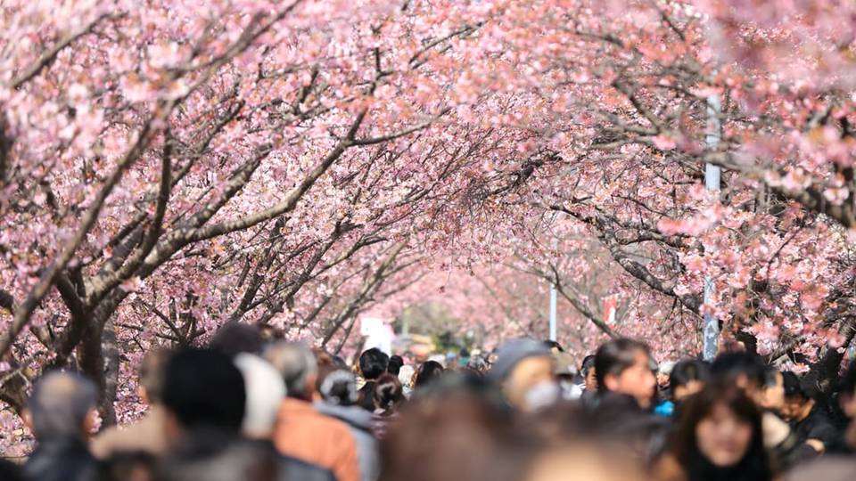 Cherry blossoms are intensely magical, and the font of inspiration for many powerful love oils and incenses. -- Cherry Blossom Magical Properties
