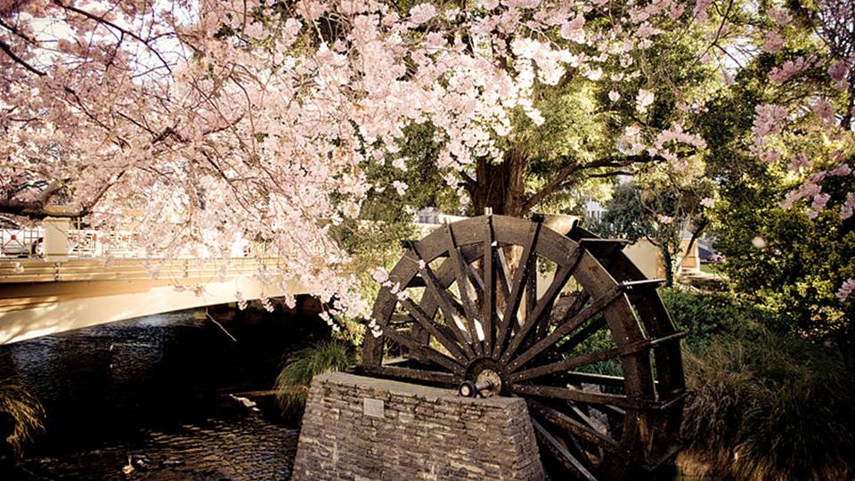 Cherry blossoms also carry the energy of abundance.  Japanese farmers felt that cherry blossoms were a good omen, and signified that they were being visited by deities who would guarantee a bountiful rice harvest. -- Cherry Blossom Magical Properties and Uses