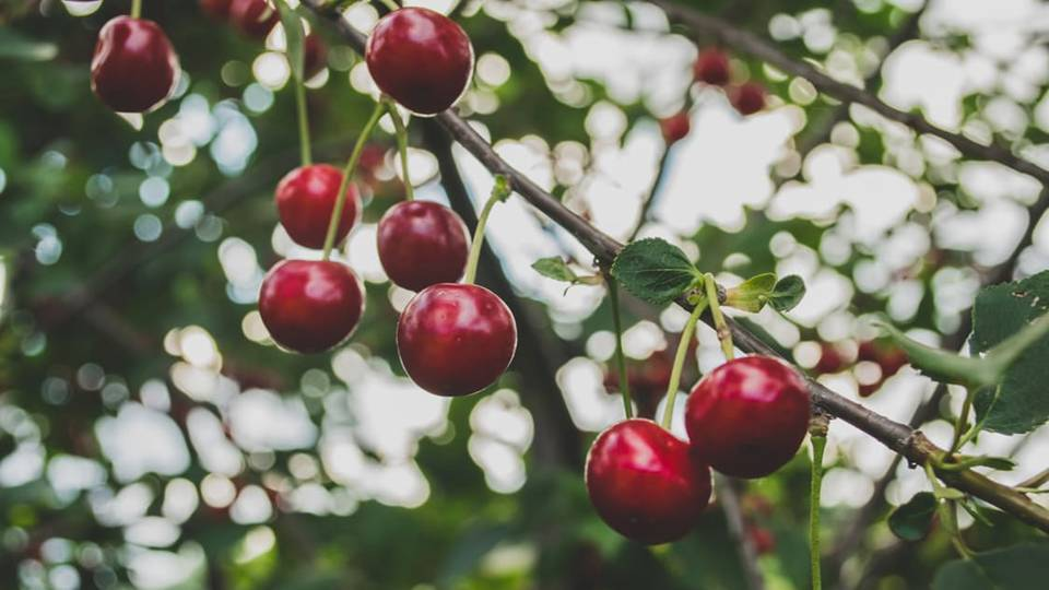 Cherry pits have been used in practice of discernment and foretelling, and its energy can be tapped for psychic pursuits.  Cherry juice is also an ample substitute for blood in rituals and magical workings. -- Cherry Magical Properties and Uses