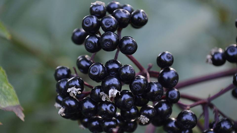 Most prominent among elderberry's health benefits is its ability to fight cold and flu.  Studies have shown that elderberry can basically neutralize the enzyme that the flu virus uses to enter a cell.  It also attacks influenza's mechanisms of entering the body, and this hold true for multiple strains of the virus. -- Health Benefits of Elderberry