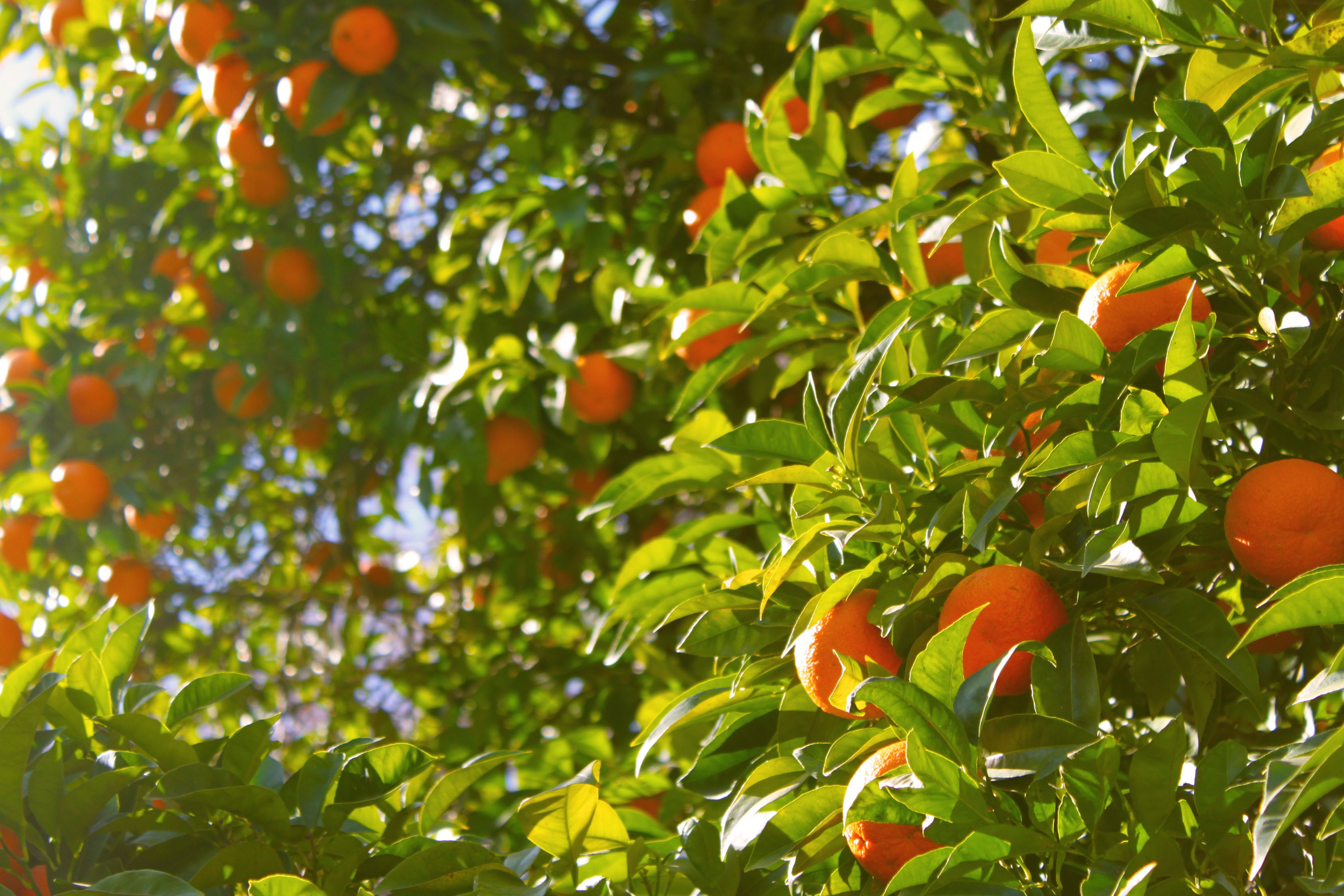 Among oranges metaphysical properties, it is associated with success and prosperity.  Oranges carry an uplifting and energizing energy, and can help generate happiness and joy.  -- Orange Metaphysical Properties