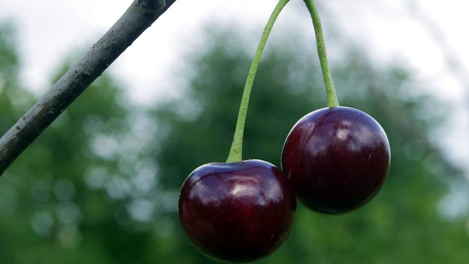 Black cherry's energy is that of duality and balance, and they are connected to the energies of longevity and immortality. -- Black Cherry Magical Properties and Uses
