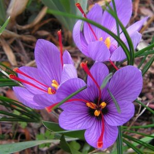 Saffron Crocus Bulbs from American Meadows