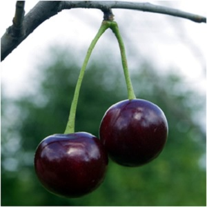 The Fruit of Duality: Black Cherry Magical Properties and Uses -- Magical Herbs