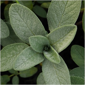 The Wisdom Herb: Sage Magical Properties and Uses -- Magical Herbs