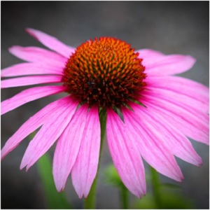 Echinacea is a powerful healer, but it also holds many benefits for magical workings and spell work. Echinacea petals can help boost clairvoyant and psychic abilities; its seeds can be used in fertility and abundance spells, and its root provides protective power. -- Echinacea Magical Properties and Uses