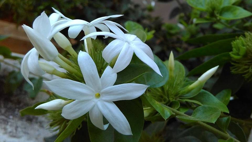 The Moonlight On The Grove Jasmine Magical Properties And Uses