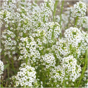 Baby's breath's magic lies in its ability to make a soft statement and is a testament to quiet power. -- Baby's Breath Magical Properties and Uses