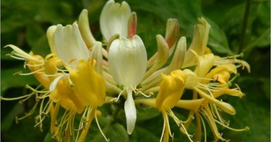 Honeysuckle is emblematic of the sweet life and conveys the essence of all things that bring pleasure and joy. -- Honeysuckle Magical Properties and Uses